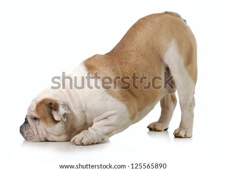 dog bowing - english bulldog with head down and bum up isolated on white background - stock photo