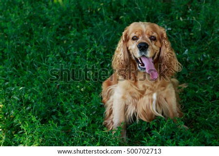 dog breed American Cocker Spaniel on a green grass