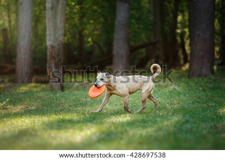 Dog breed American Staffordshire Terrier walking in fotest - stock photo