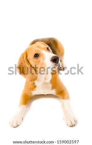 Dog breed beagle  lying on the floor. Isolated.