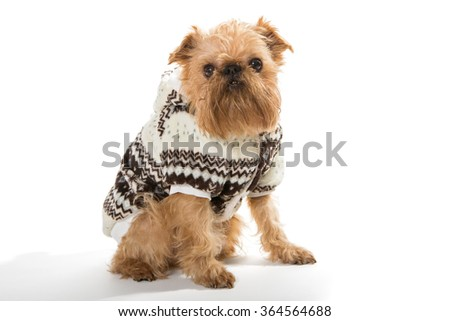 Dog breed Brussels Griffon in a warm jacket, isolated on a white