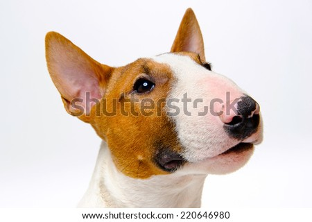 Dog breed bull terrier on a white background - stock photo