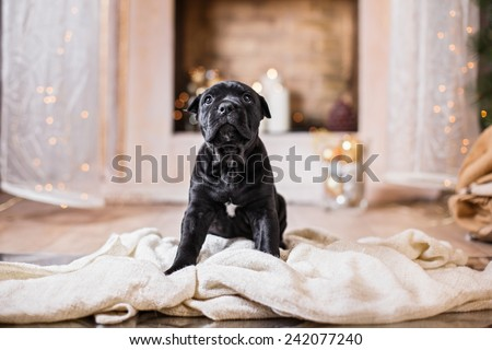 Dog breed Cane Corso puppy, portrait dog on a studio color background, Christmas and New Year - stock photo