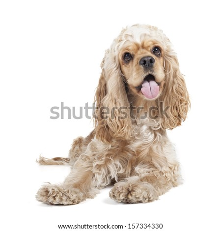 Dog breed cocker spaniel on a white background in studio - stock photo