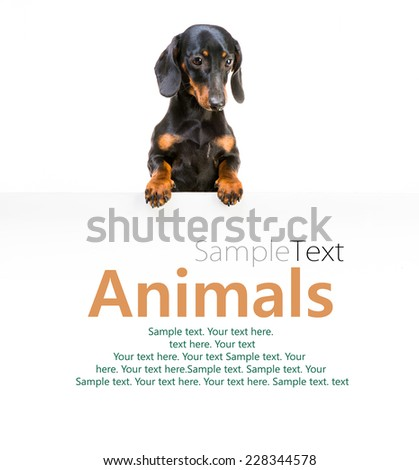 dog breed dachshund and white board with sample text - stock photo