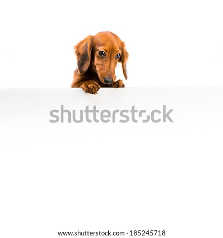 dog breed dachshund with a whiteboard foryour text - stock photo