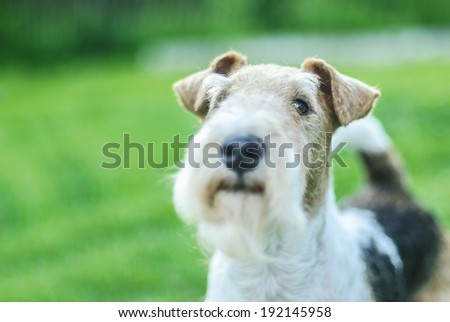 Dog breed Fox-Terrier against green of Park in summer. - stock photo