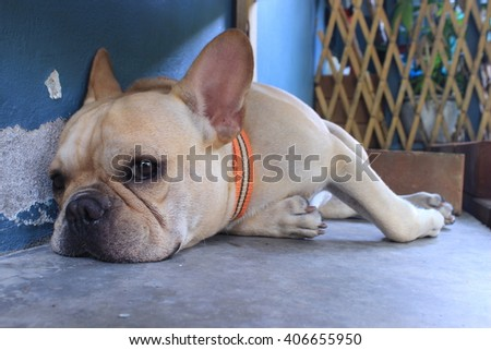 Dog breed French Bulldog Like sleeping in the cold cement floor polish is yard. In the chair in the summer heat. - stock photo