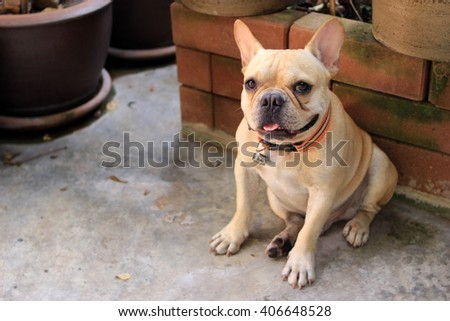 Dog breed French Bulldog seats on the polished concrete floor. In the home garden - stock photo