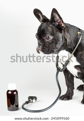dog breed french bulldog with stethoscope around his neck - stock photo