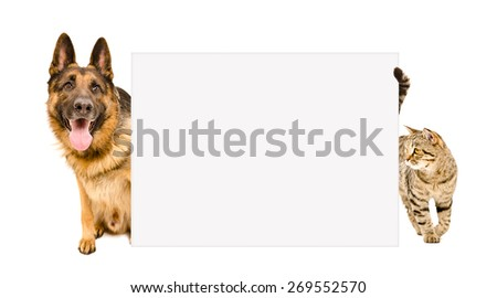 Dog breed German shepherd and cat Scottish Straight looking out from behind a poster isolated on white background - stock photo