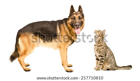Dog breed German Shepherd  and curious cat Scottish Straight isolated on white background - stock photo
