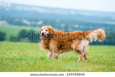 dog breed golden retriever lying in the field - stock photo
