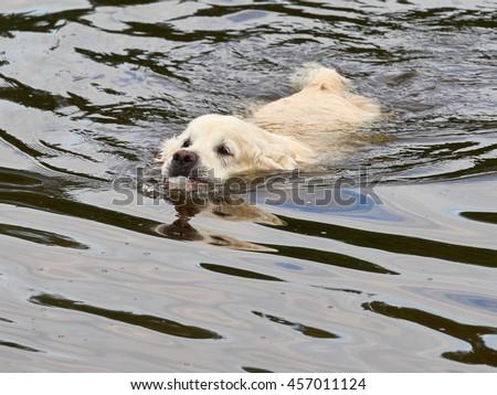 dog breed golden retriever play and swim - stock photo