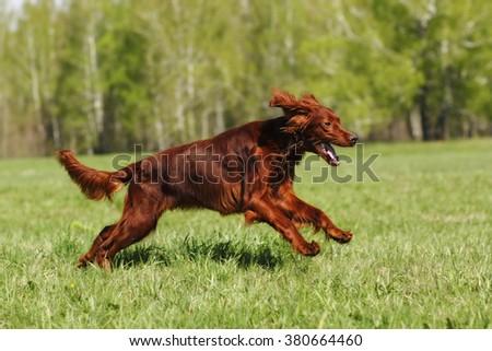 dog breed Irish setter runs across the field  - stock photo
