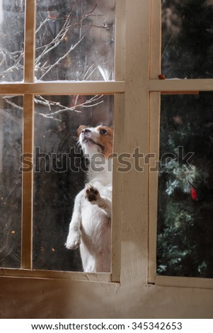 Dog breed Jack Russell Terrier holiday, Christmas and New Year