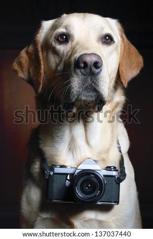 Dog breed Labrador retriever with a camera hanging around his neck - stock photo
