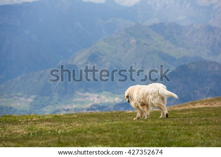 Dog breed labrador walking on the meadow in the Dolomites mountains - stock photo
