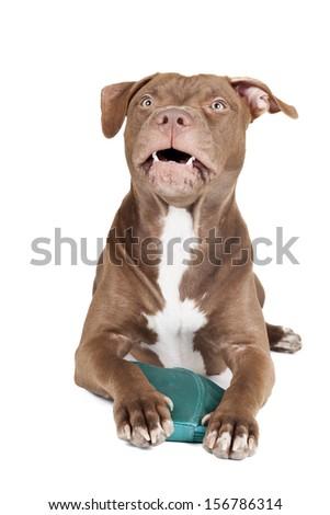 dog breed pit bull aggressively protects handbag - stock photo