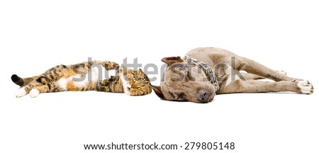 Dog breed pit bull and Scottish Fold cat sleeping together - stock photo
