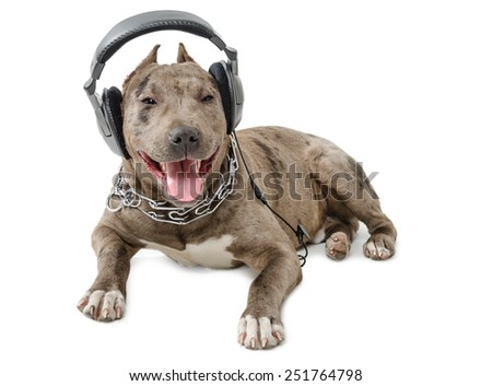 Dog breed pit bull in headphones lying isolated on white background - stock photo
