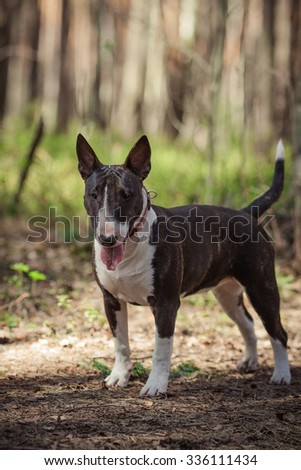 Dog breed Pit Bull Terrier walking in autumn park