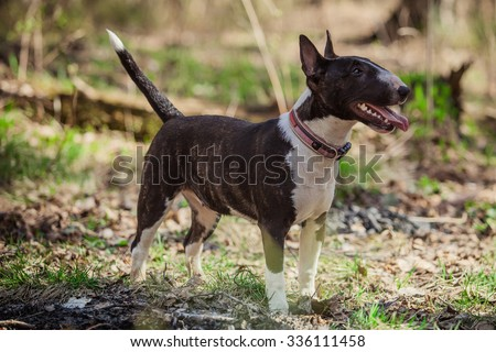 Dog breed Pit Bull Terrier walking in autumn park - stock photo