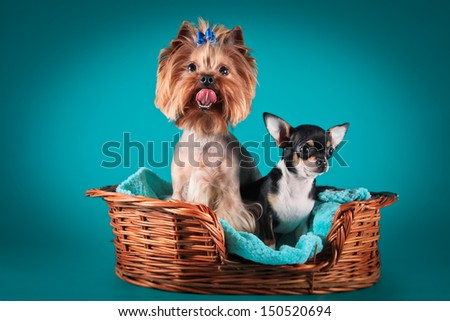 dog breed, portrait on a background of interior