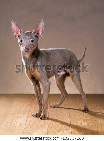 Dog breed Russian Toy Terrier on a beige background - stock photo