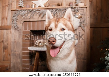Dog breed siberian husky, portrait dog on a studio color background, Christmas and New Year. Dog near fireplace