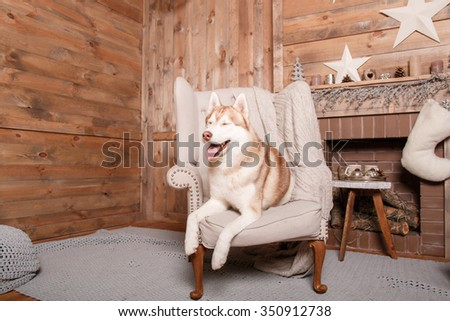 Dog breed siberian husky, portrait dog on a studio color background, Christmas and New Year. Dog near fireplace - stock photo