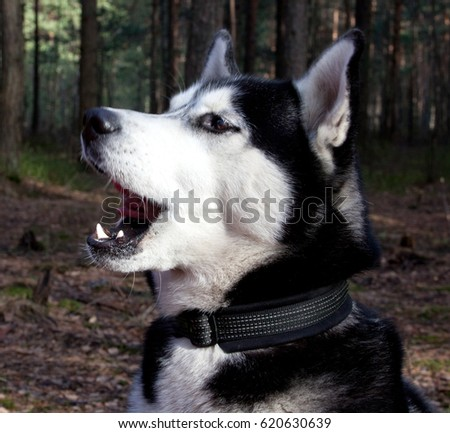 Dog Breed Siberian Husky Sings A Song In The Spring Forest