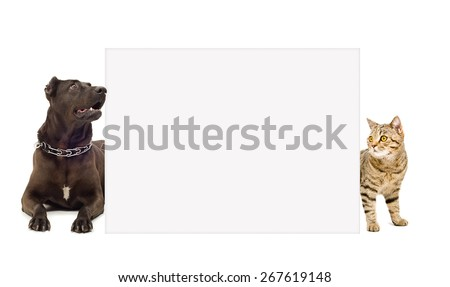 Dog breed Staffordshire Terrier and cat Scottish Straight looks out from behind a banner isolated on white background - stock photo