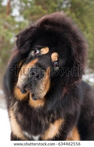 Must see Tibetan Mastiff Chubby Adorable Dog - stock-photo-dog-breed-tibetan-mastiff-listens-attentively-to-the-interlocutor-634462556  Perfect Image Reference_584852  .jpg