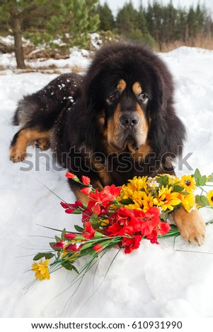 Must see Tibetan Mastiff Chubby Adorable Dog - stock-photo-dog-breed-tibetan-mastiff-lying-in-the-snow-with-yellow-and-red-flowers-610931990  Perfect Image Reference_584852  .jpg