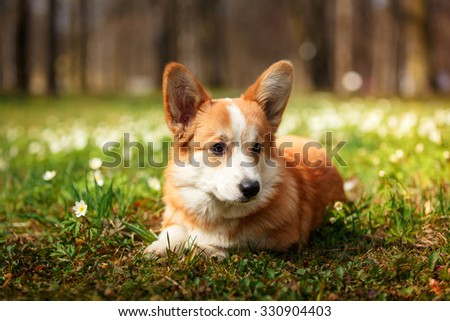 Dog breed Welsh Corgi Pembroke walking in autumn park