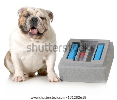 dog breeding - english bulldog sitting beside container for shipping chilled semen isolated on white background - stock photo