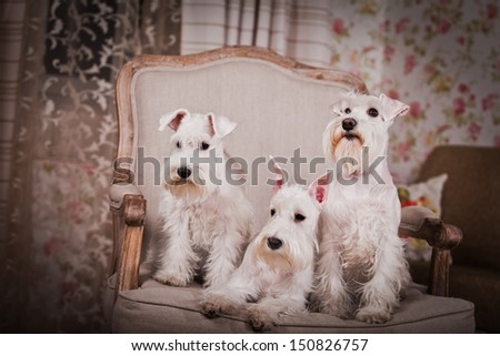 dog breeds, cute, small, hand-held, puppy, barn, village, miniature schnauzer