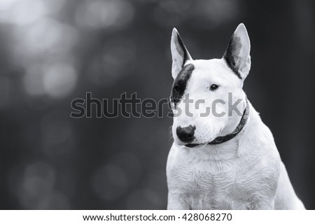 Dog Bull Terrier walking in the park , summer