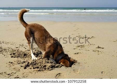 Dog burying his head in the sand at Sennen beach, Cornwall. - stock photo
