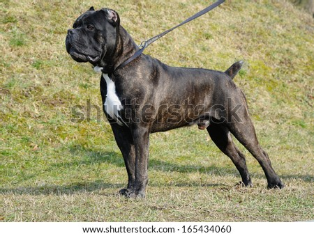 dog cane corso italian outdoor