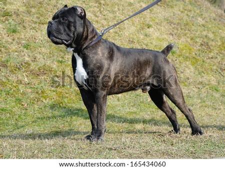 dog cane corso italian outdoor - stock photo