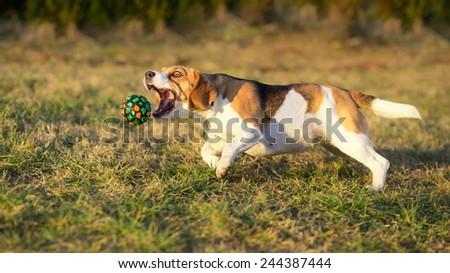 Dog catching a ball - Beagle - stock photo