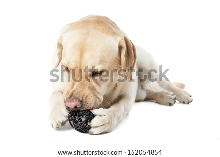dog chewing on a toy on a white background in studio - stock photo