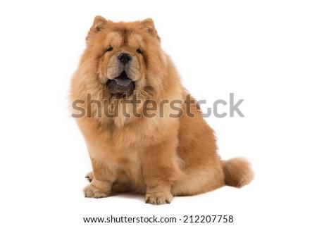 dog chow chow - stock photo