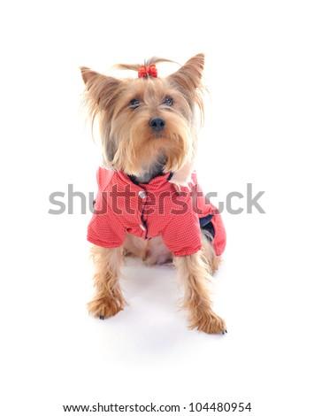 Dog Christmas yorkie. Isolated on white background - stock photo