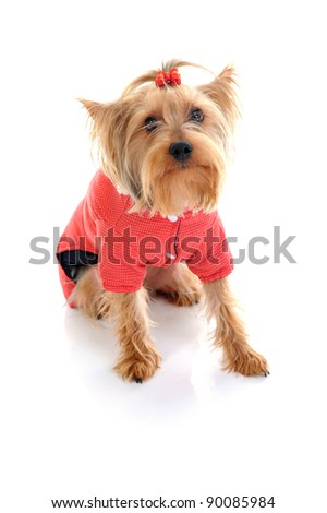 Dog Christmas yorkie. Isolated on white background