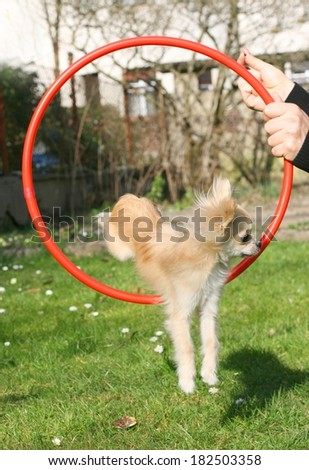Dog clicker or magazine training with positive reinforcement, chihuahua jumping through agility ring  - stock photo