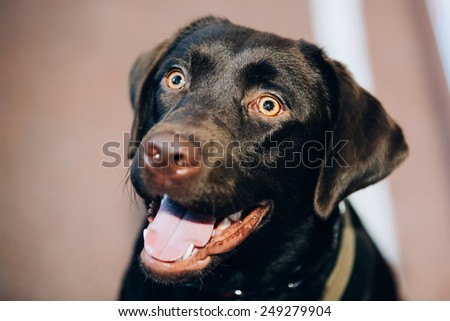 Dog Close-up of Chocolate Labrador Close Up Head, Snout Of Lab Puppy Whelp - stock photo