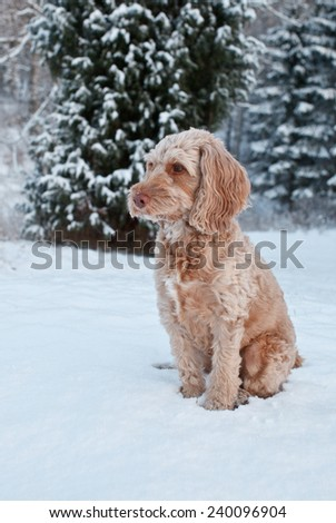 Dog (cockapoo) playing in the snow